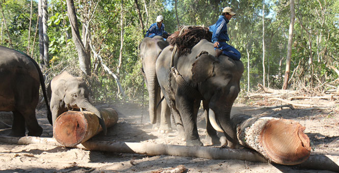 Myanmar Timber Elephant Project | Improving timber elephant