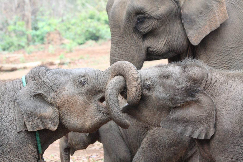 Asian elephant siblings 2 credit Virpi Lummaa